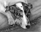 graphite pencil portrait great dane dog breed