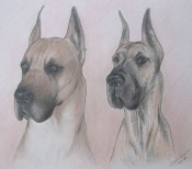 colored pencil portrait great dane dog breed